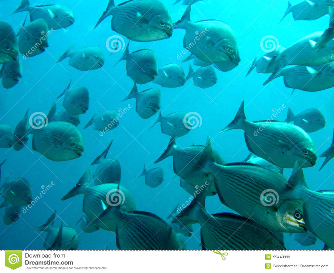 Large school of fish swimming together in ocean stock for Large ocean fish