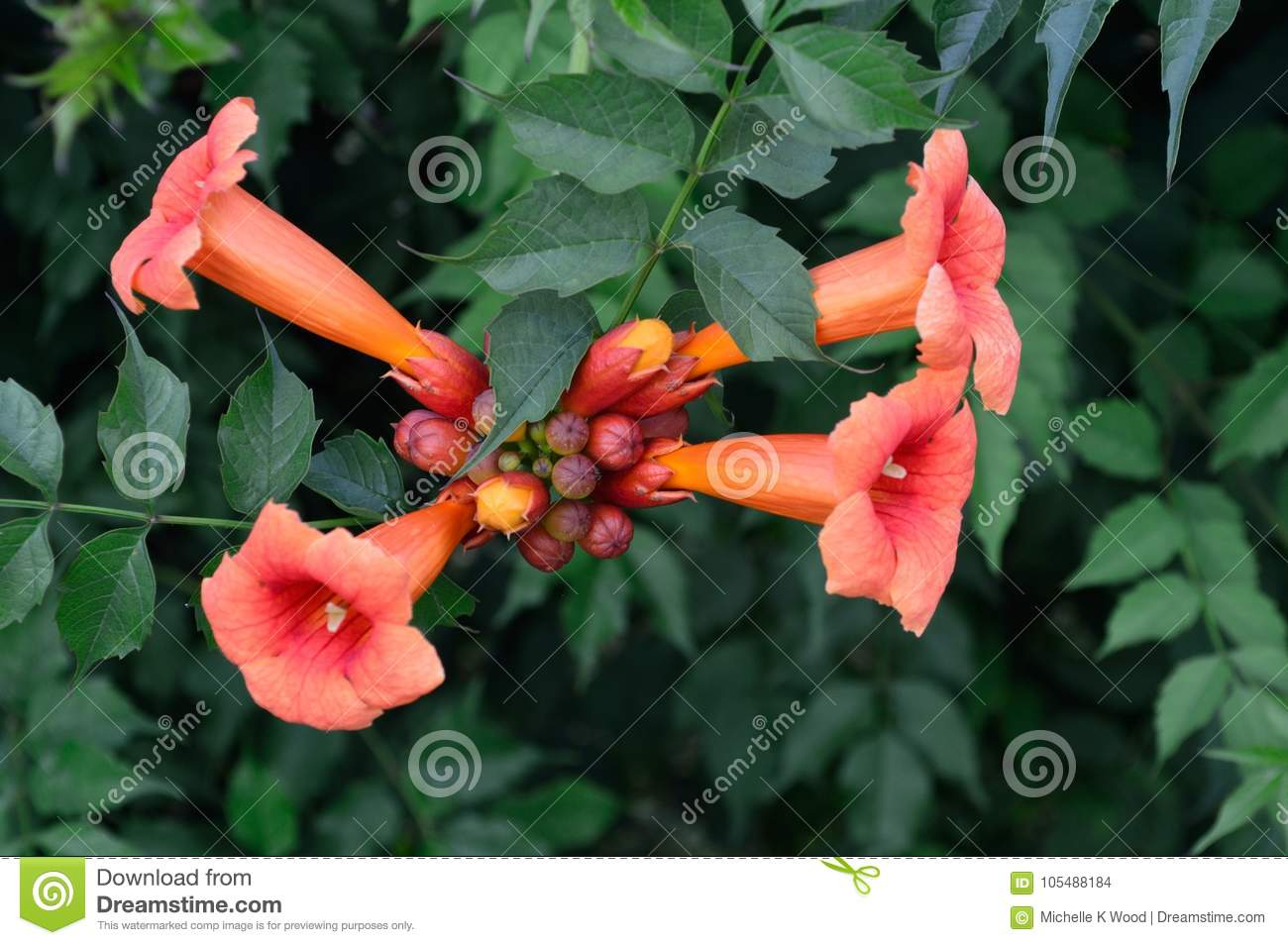 Trumpet Vine flowers and buds