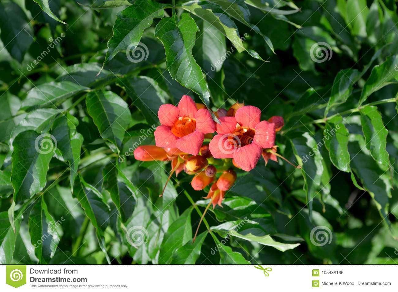 Trumpet Vine with Bee Collecting Pollen