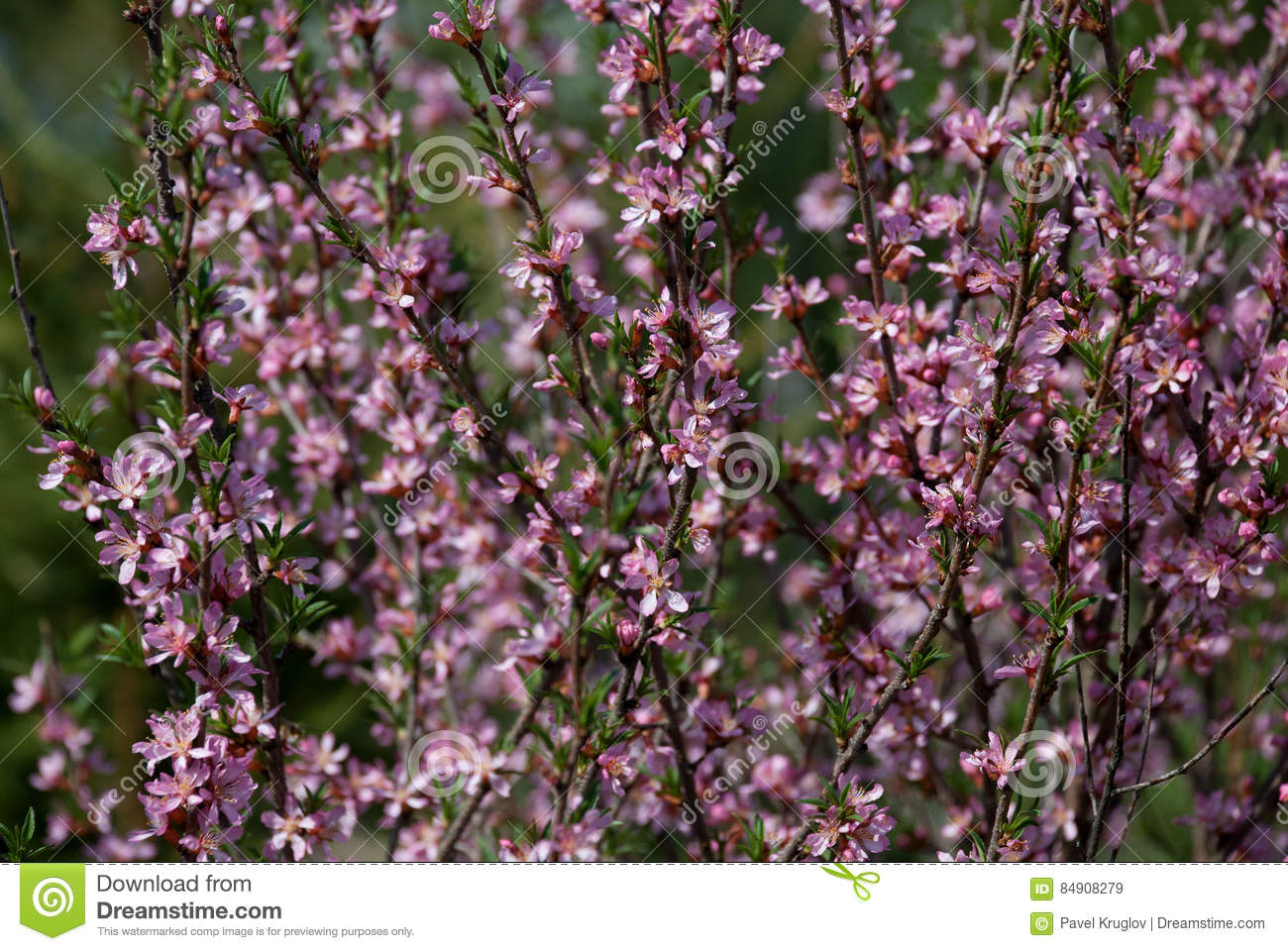 Large Shrub With A Scattering Of Small Pink Flowers Stock Image