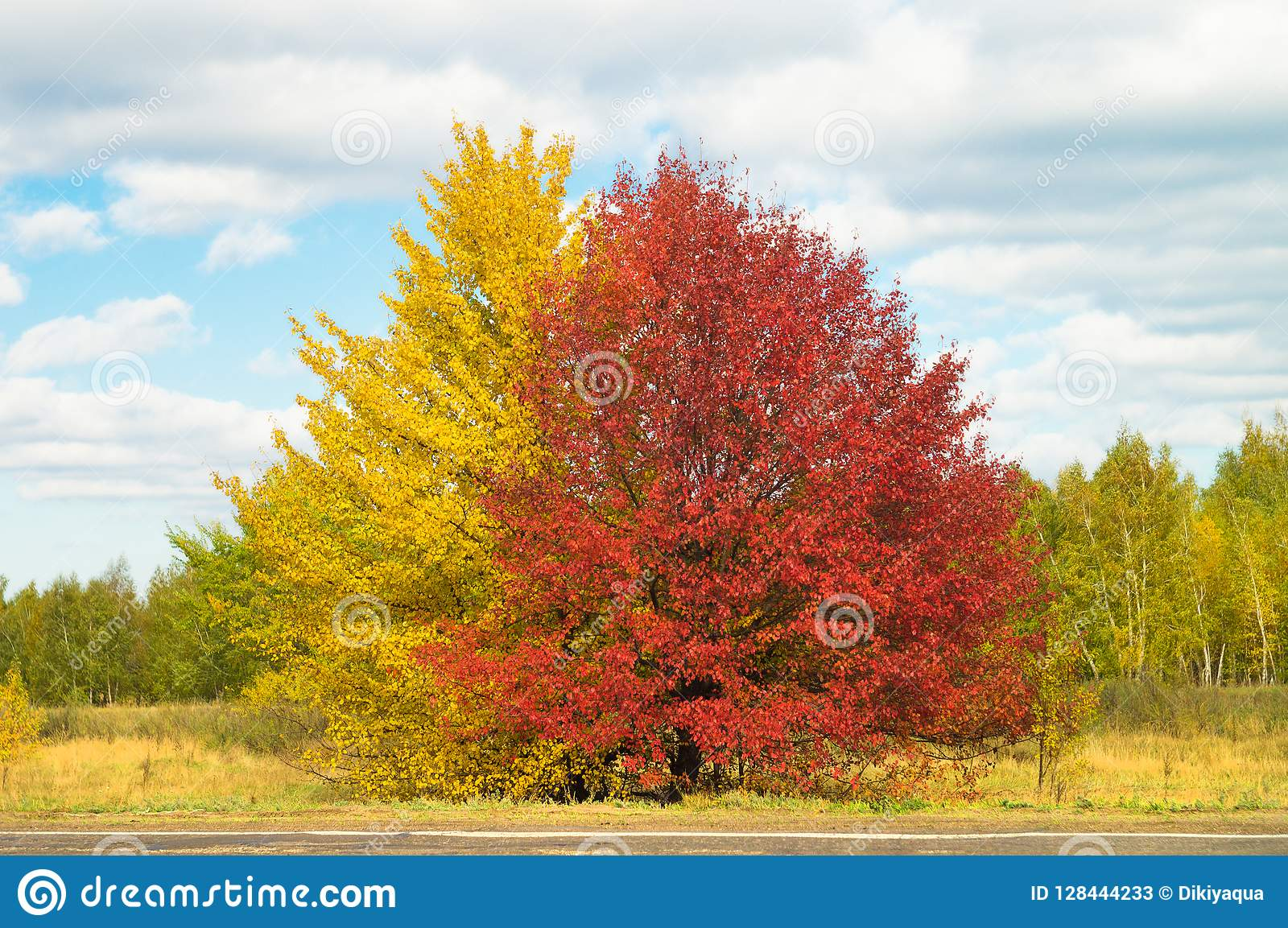 Large spreading yellow and red color bright trees in picturesque autumn valley, against a background of blue sky with sparse cloud