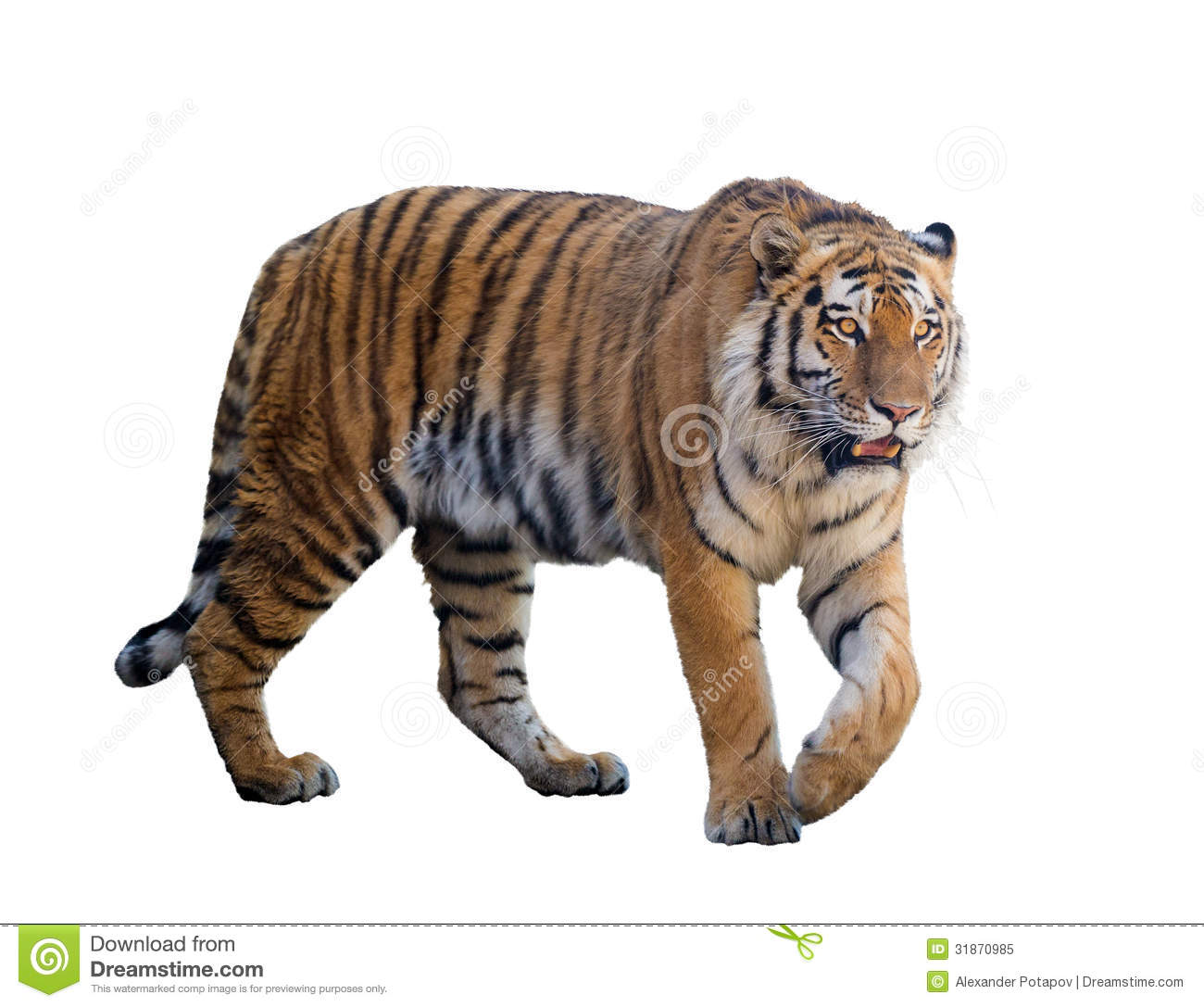 Large tiger isolated on white