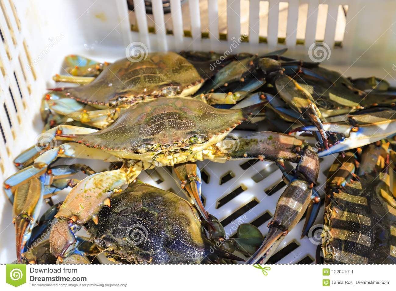 Large tropical crabs lie in a box, fishing