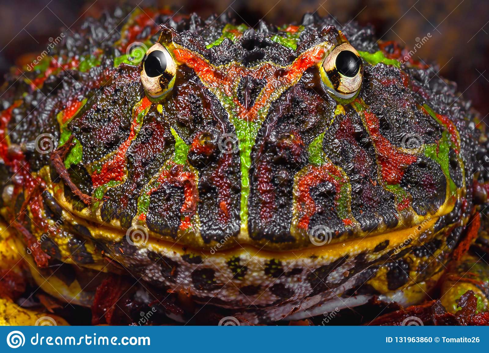 Large tropical frog portrait with interesting pattern