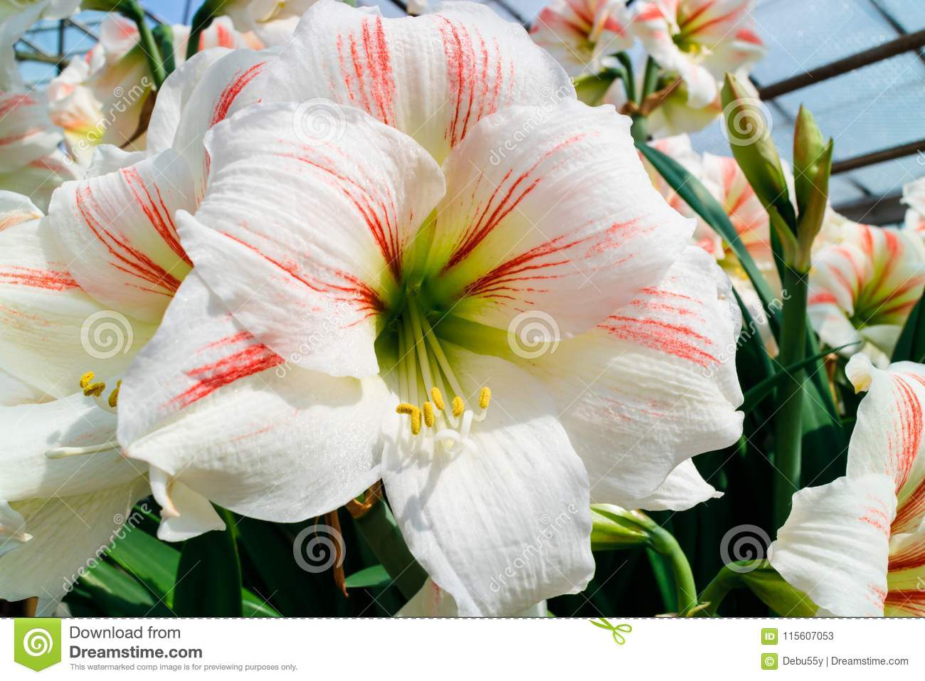 White With Pink Stripes Amaryllis Flower Close Up Stock Image