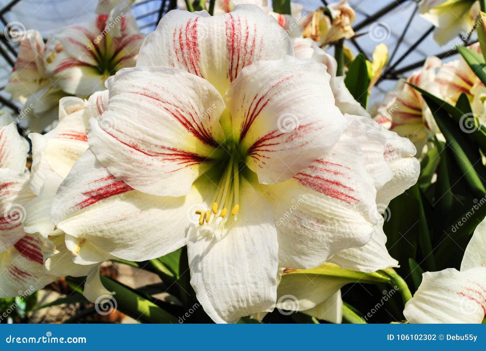 White With Pink Stripes Amaryllis Flower Close Up Stock Photo