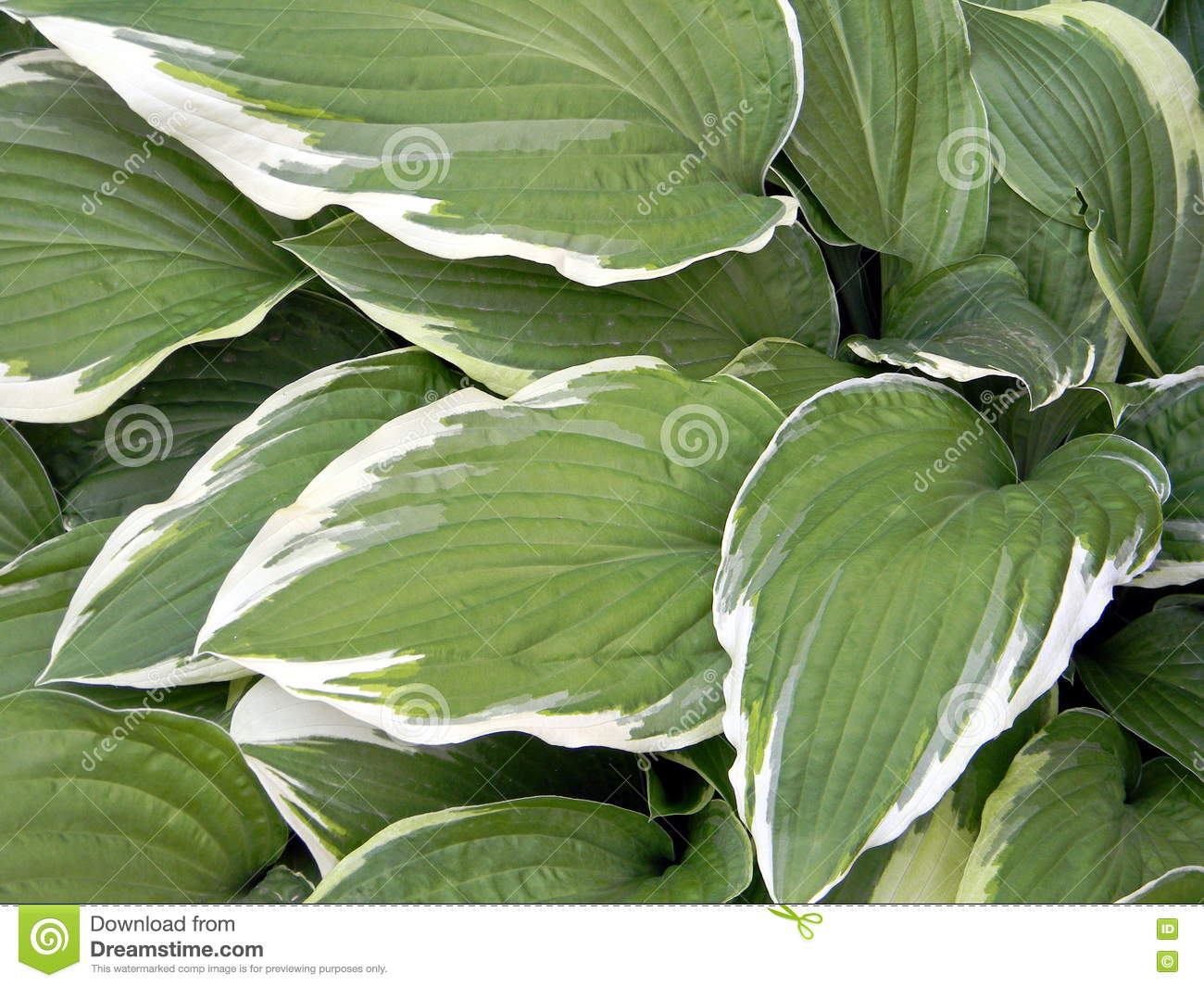 Large Variegated Leaves With White Contrast Edges Hosta Close Up