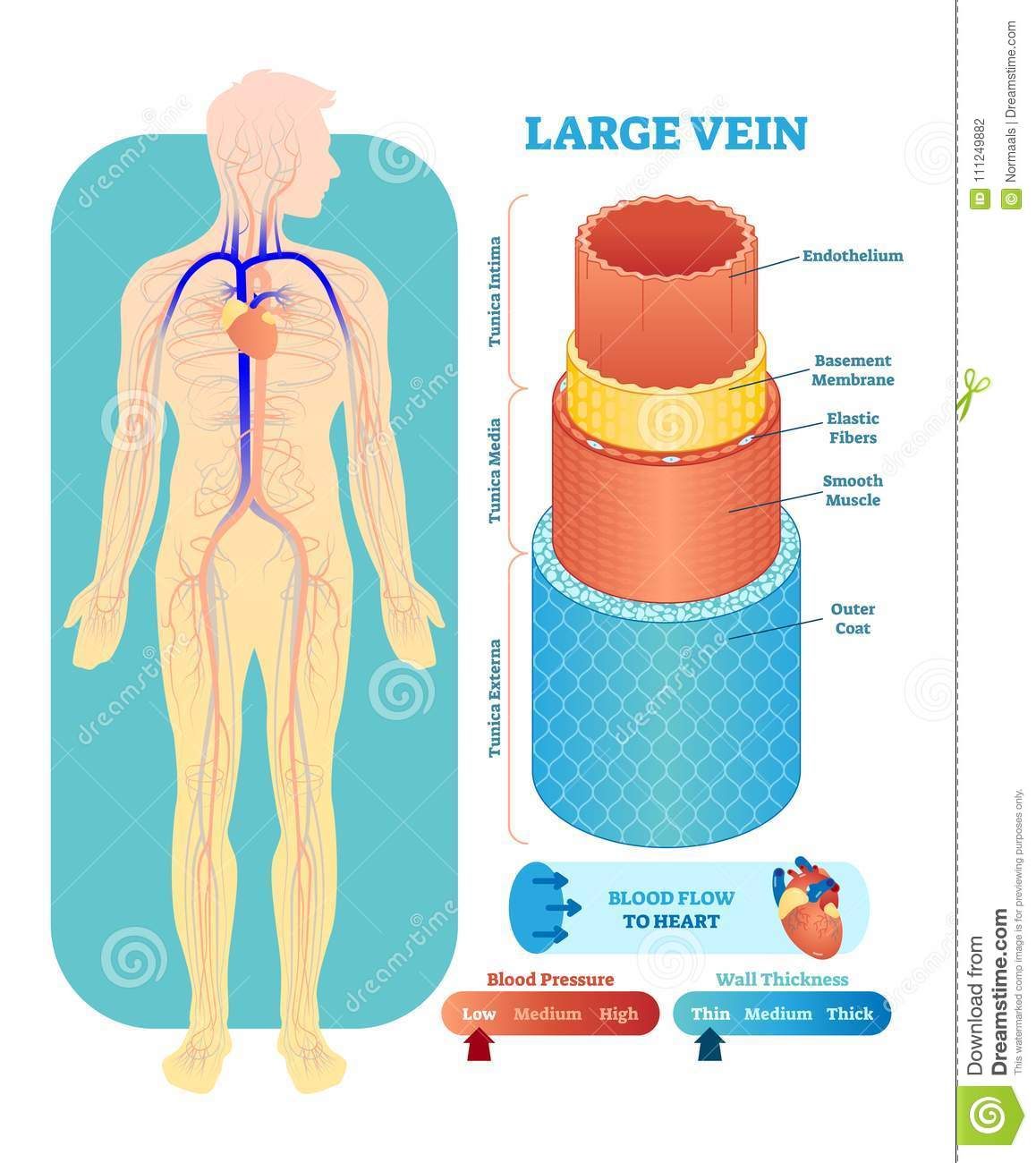 Large Vein Anatomical Vector Illustration Cross Section. Circulatory ...