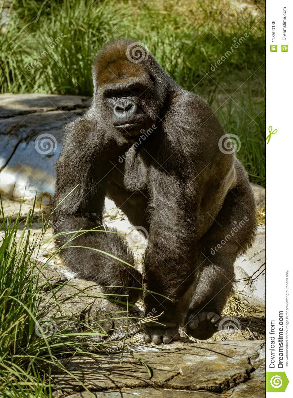 A large gorilla walking on his knuckles