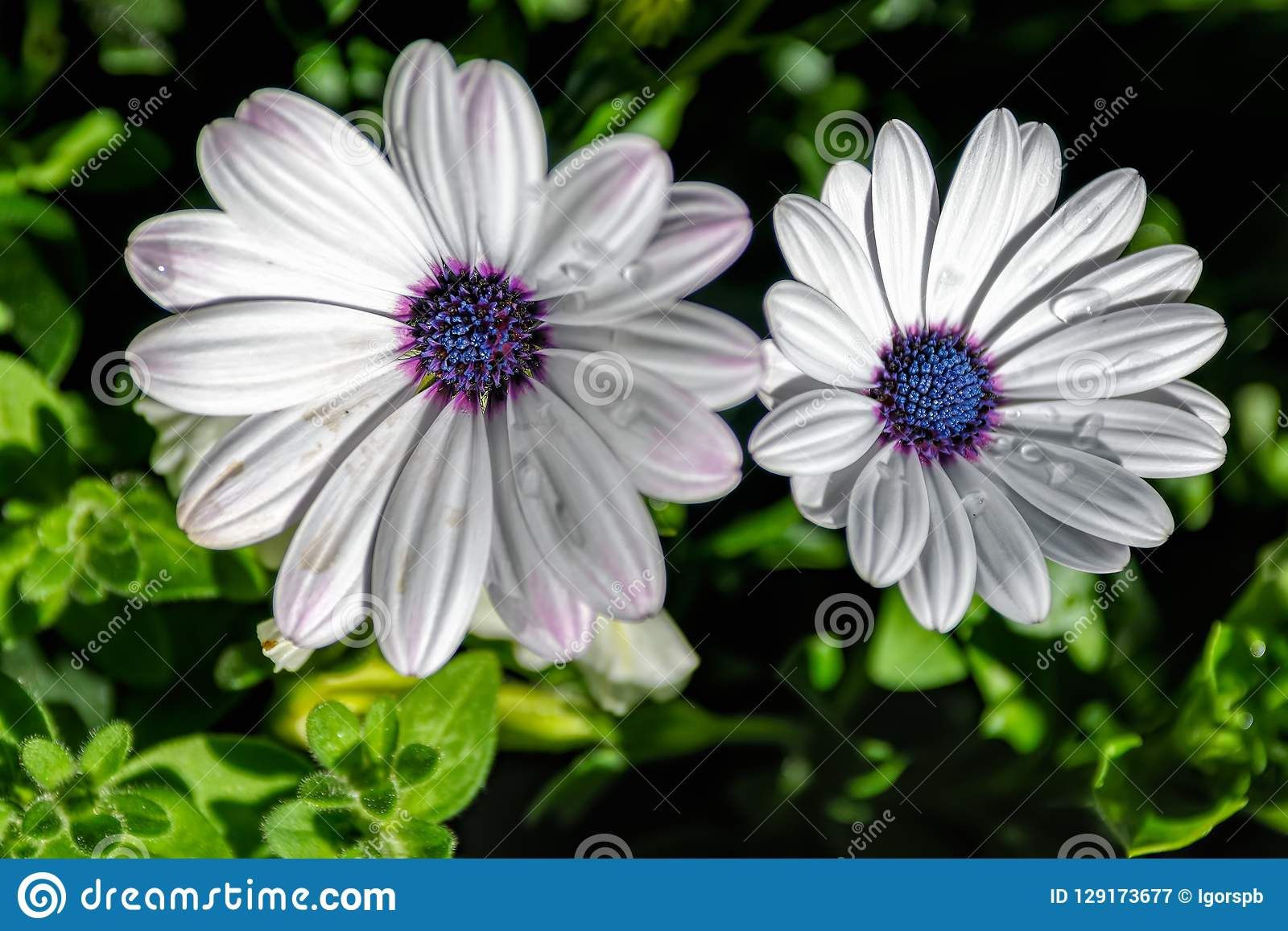 Large White Daisy With Blue Center Stock Image Image Of Oxeye