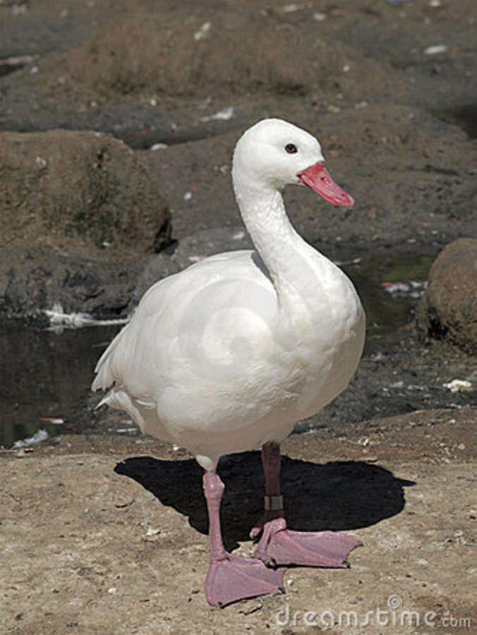 large white duck royalty free stock photography