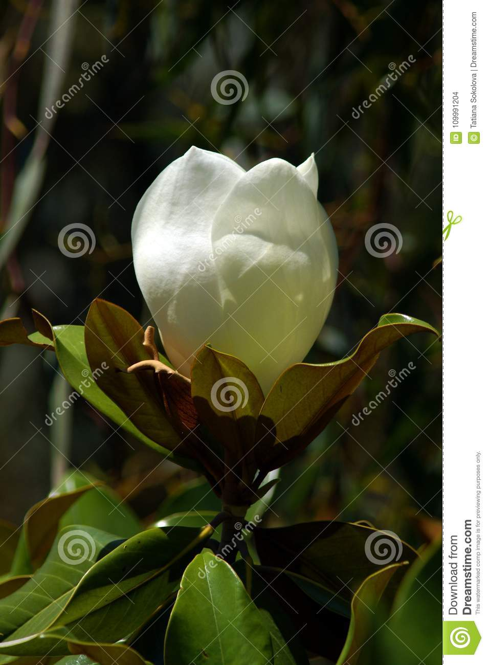 Magnolia is a large flower it is named after french botanist pierre download comp mightylinksfo