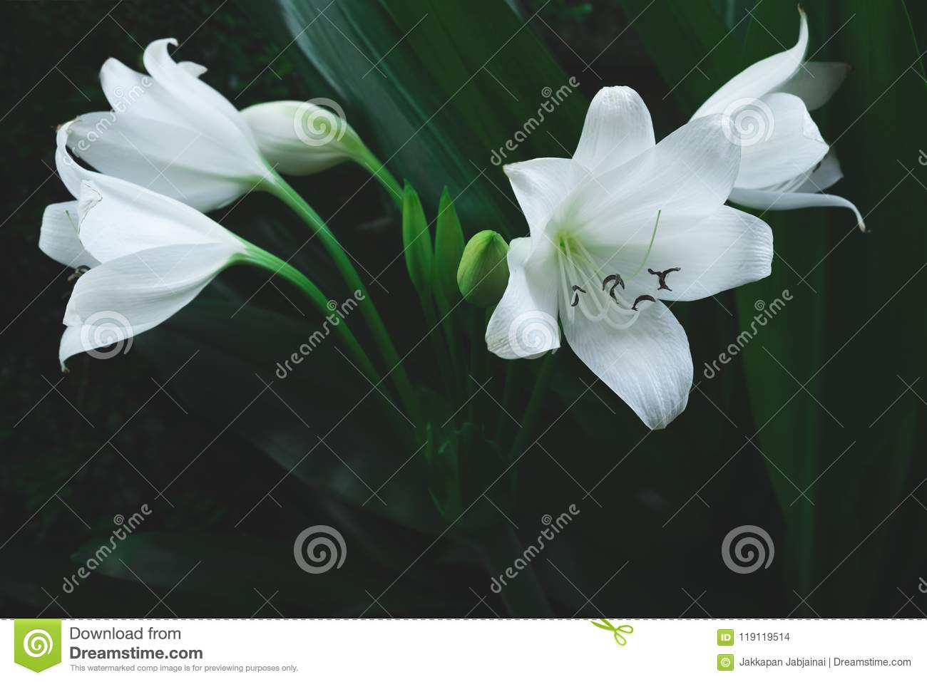 Large White Flower Of Tropical Plant Stock Photo Image Of Nature
