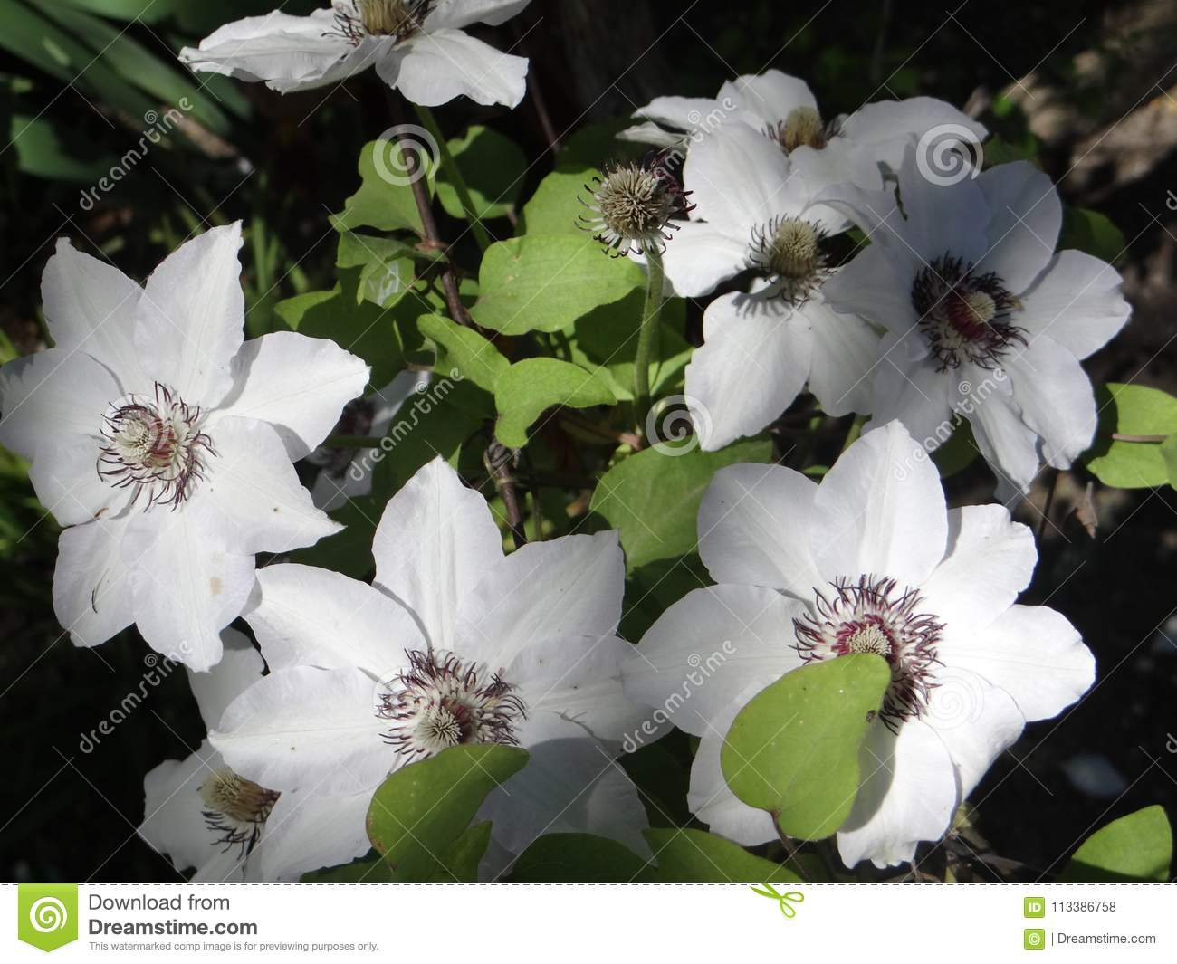 Large White Flowers Of Clematis Stock Photo Image Of Admire