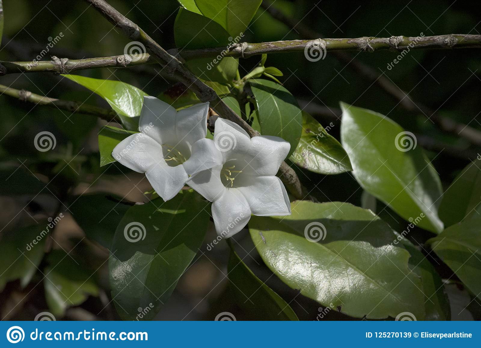 Large White Fragrant Flowers Of A Portlandia Platantha Shrub Stock