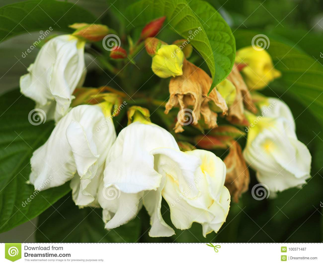 Large White May Tree Carolina Silverbell Flower Bouquet Stock Image