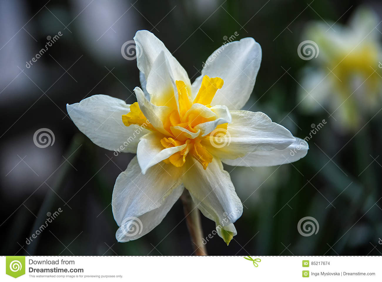 Large white orange daffodil flower