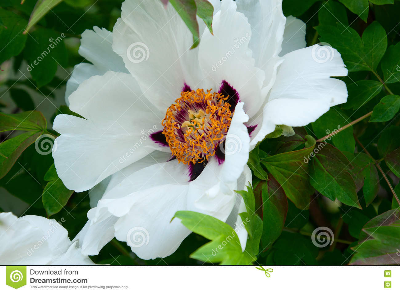 Large White Peony Flower Close Up Stock Photo Image Of Leaf