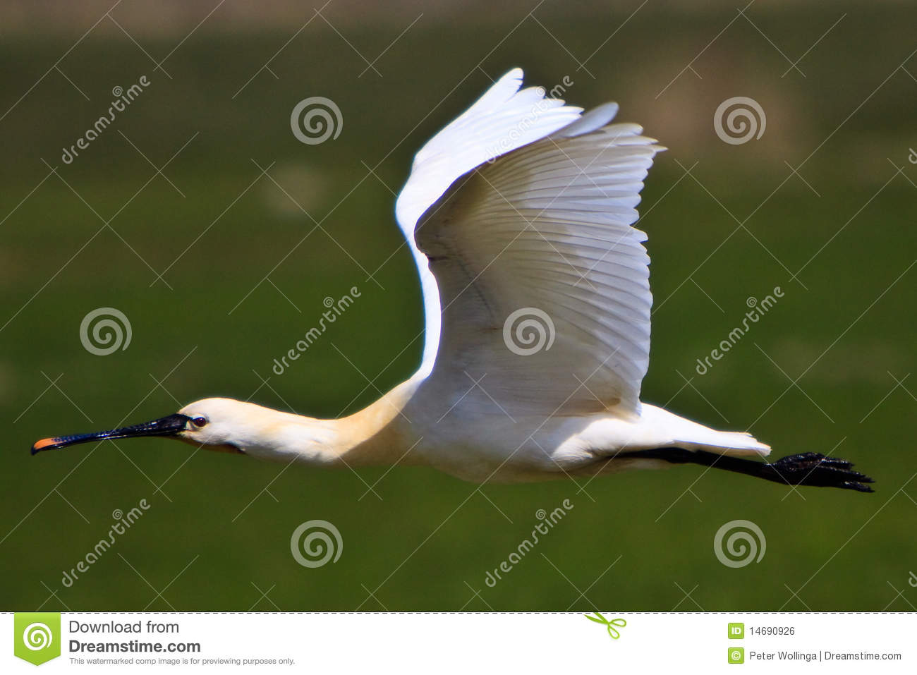 Flying Birds Free Stock Photos Download 3 416 Free Stock: Large White Spoonbill Bird Flying Stock Photo