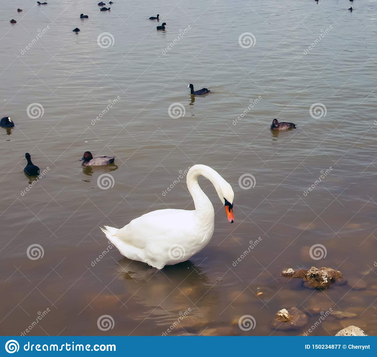 A large white swan on the water, with little black swans