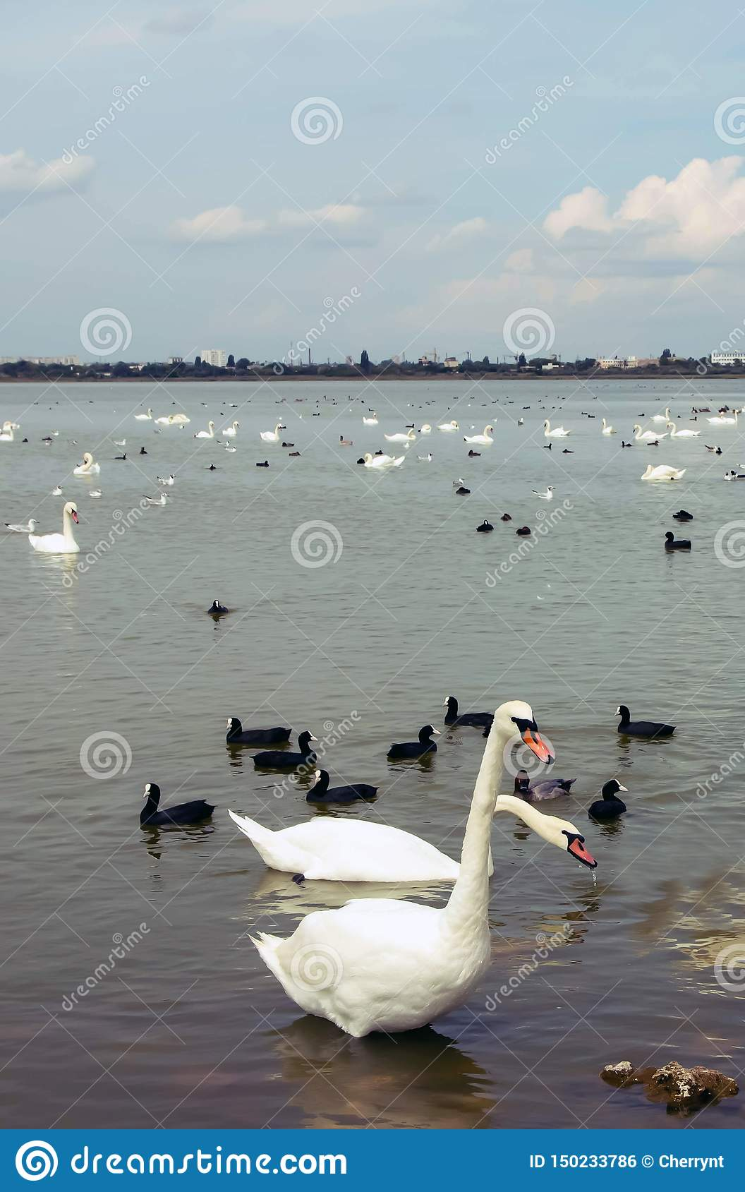 A large white swans on the water, with little black swans