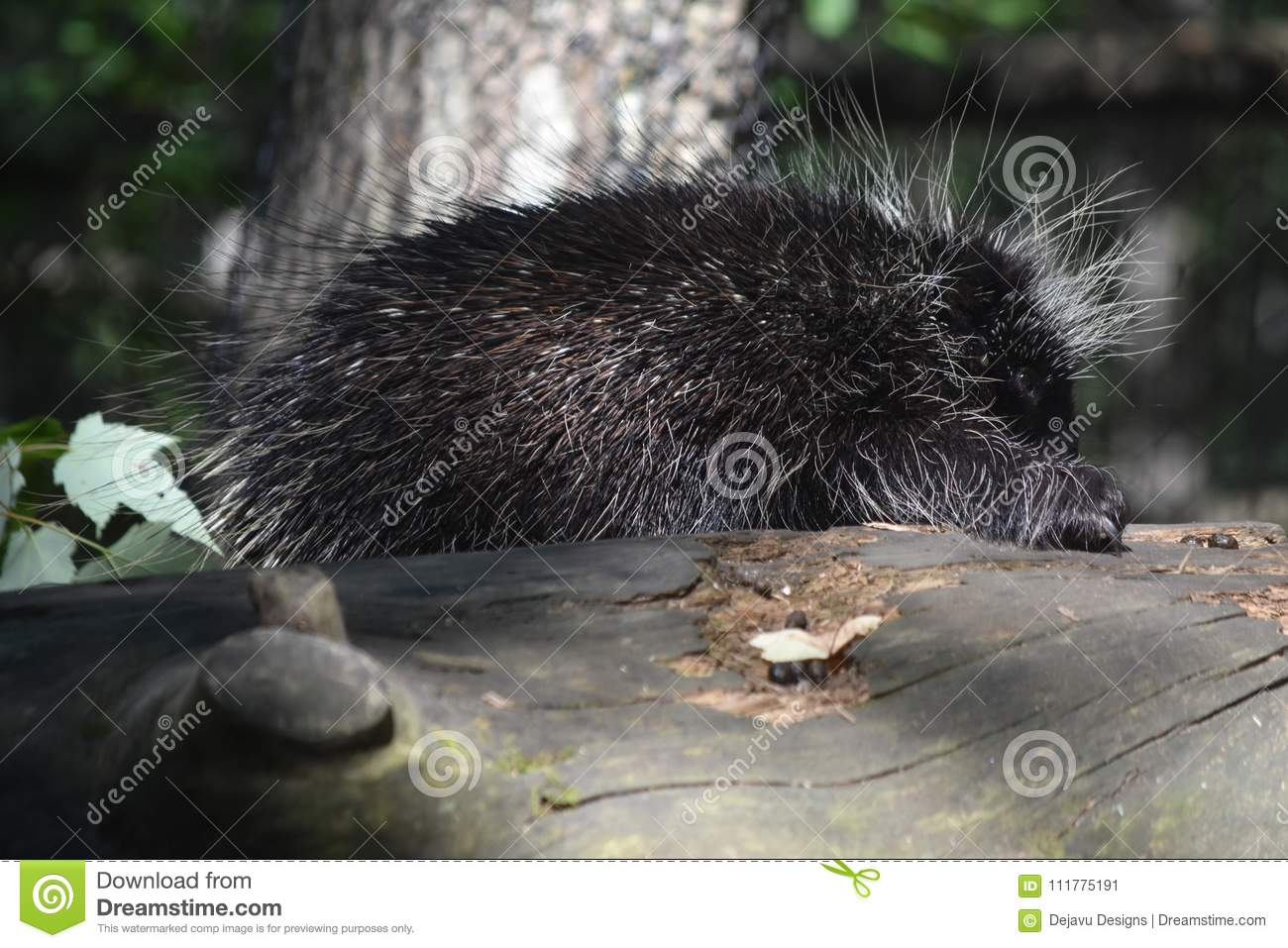 Large wild porcupine showing off its claws digging into the log