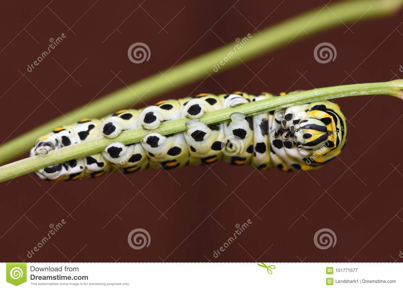 Black Swallowtail Caterpillar - Butterfly larva, also called a Parsley worm.