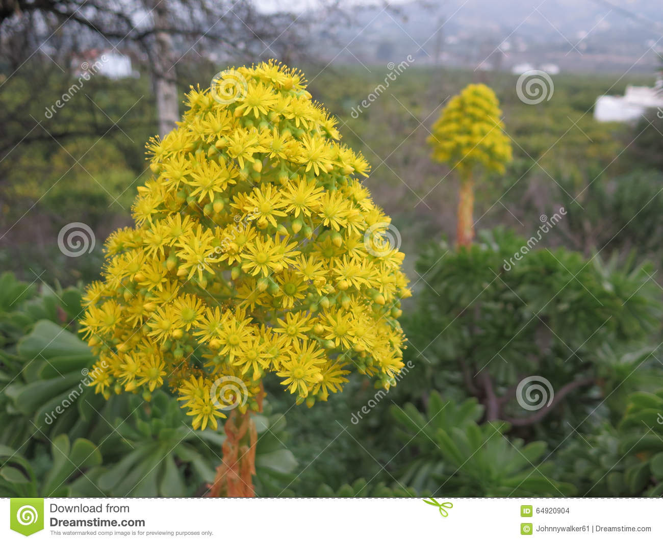 Large yellow flower stock photo image of succulent green 64920904 download large yellow flower stock photo image of succulent green 64920904 mightylinksfo