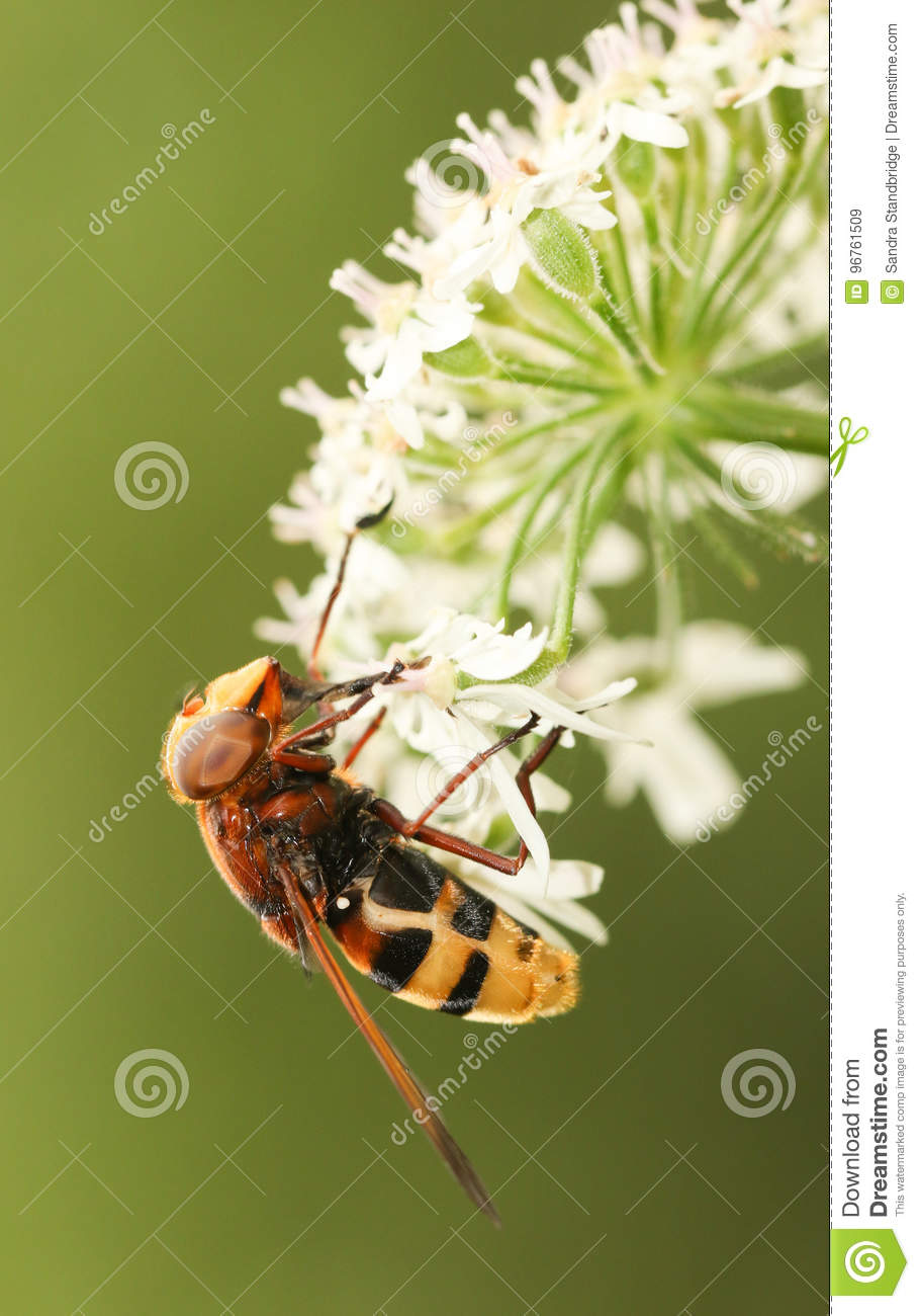A Large Yellow Hoverfly Volucella inanis nectaring on a flower.