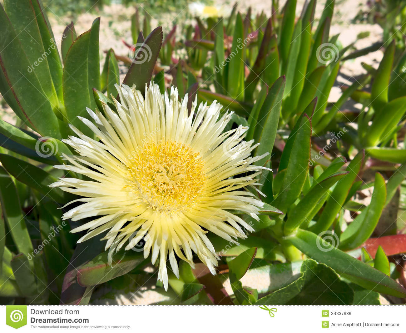 Large Yellow Pigface Royalty Free Stock Image Image