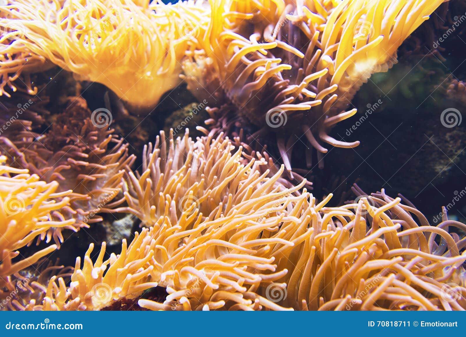 Large Yellow Sea Anemone Under Water Stock Image - Image