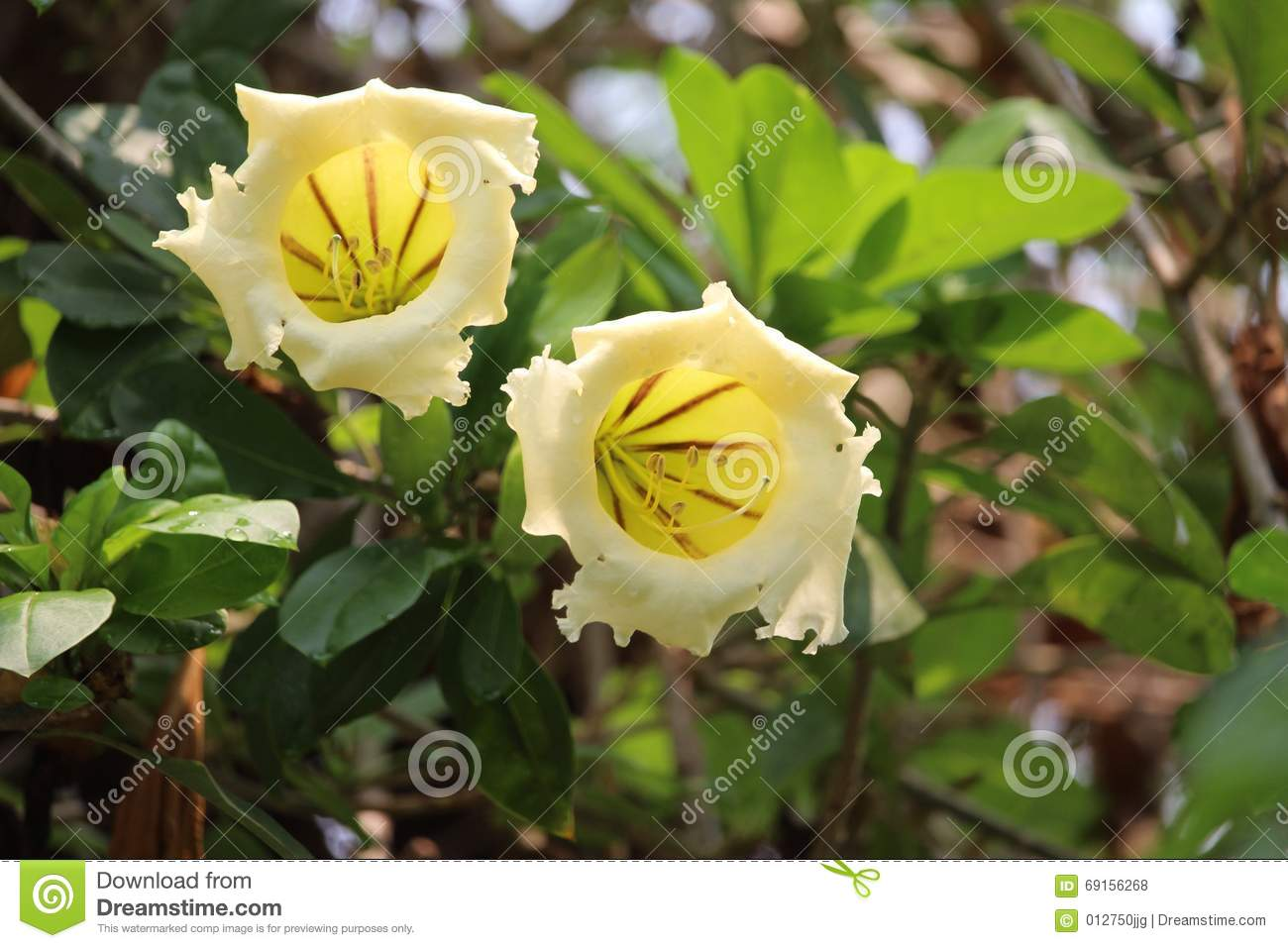Large yellow and white tubular flowers on tree at chatuchak park royalty free stock photo mightylinksfo