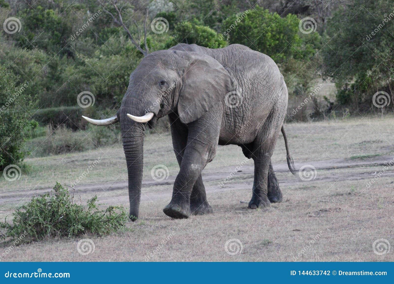 Elephant walking on grassfields in the savanna
