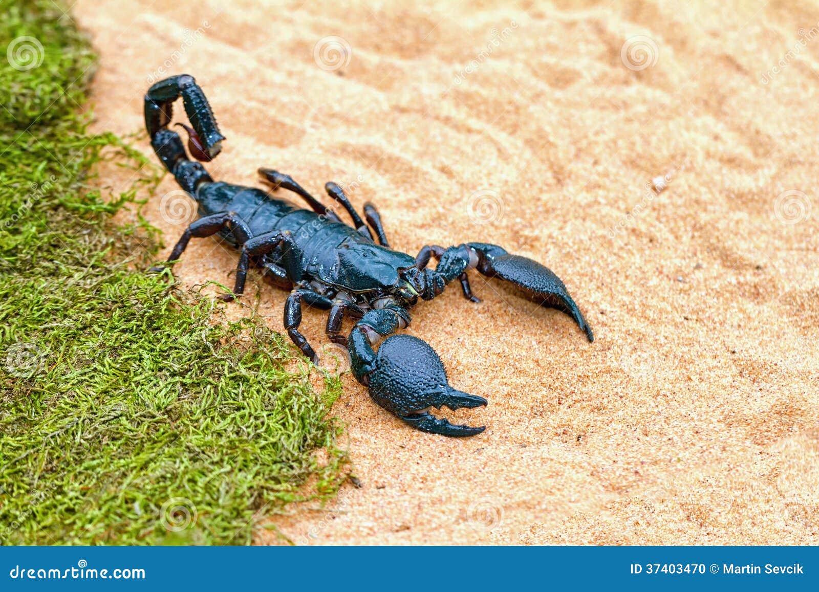 Biggest scorpion in the world - photo#6
