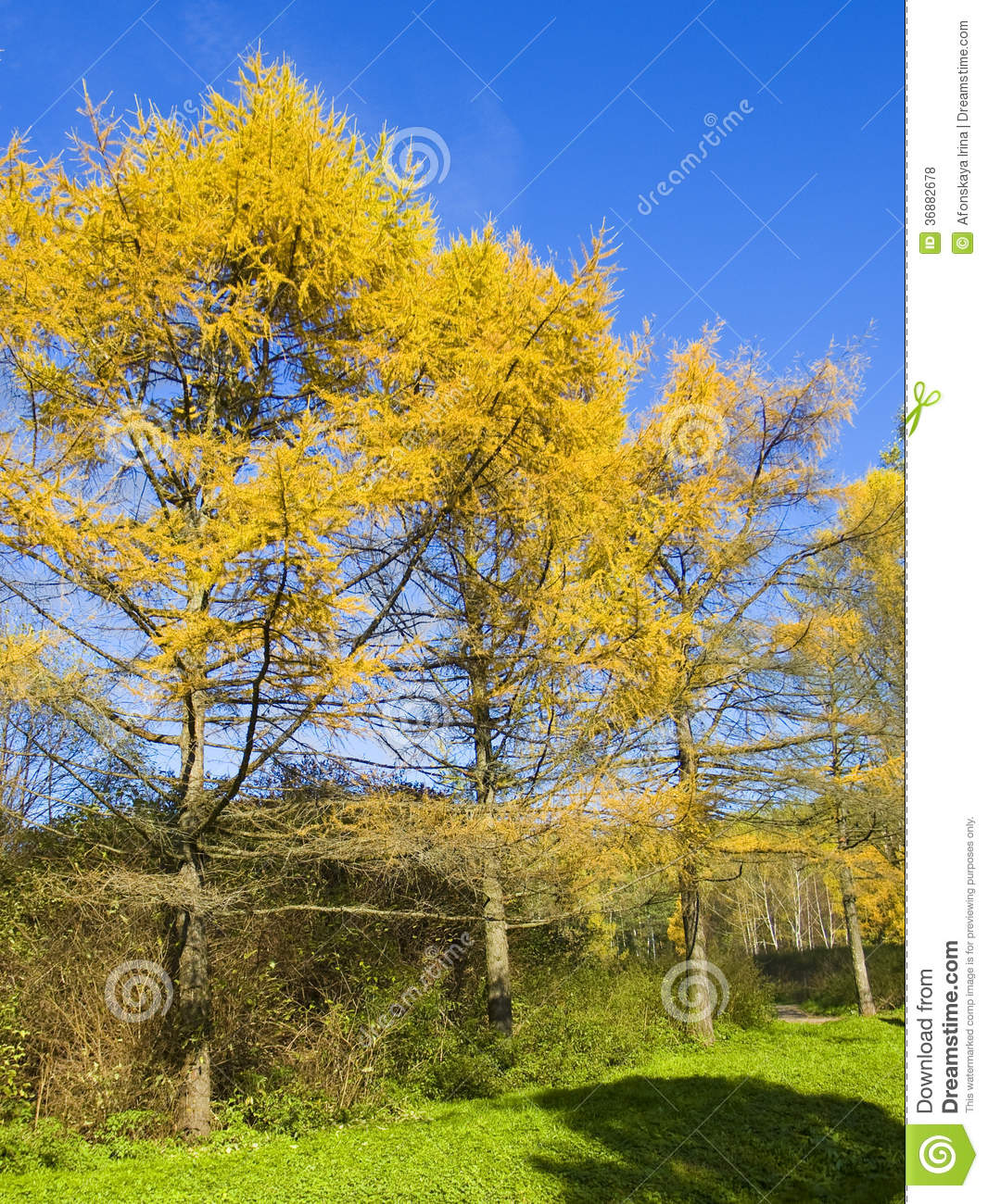 Download Larici gialli, autunno fotografia stock. Immagine di larice - 36882678