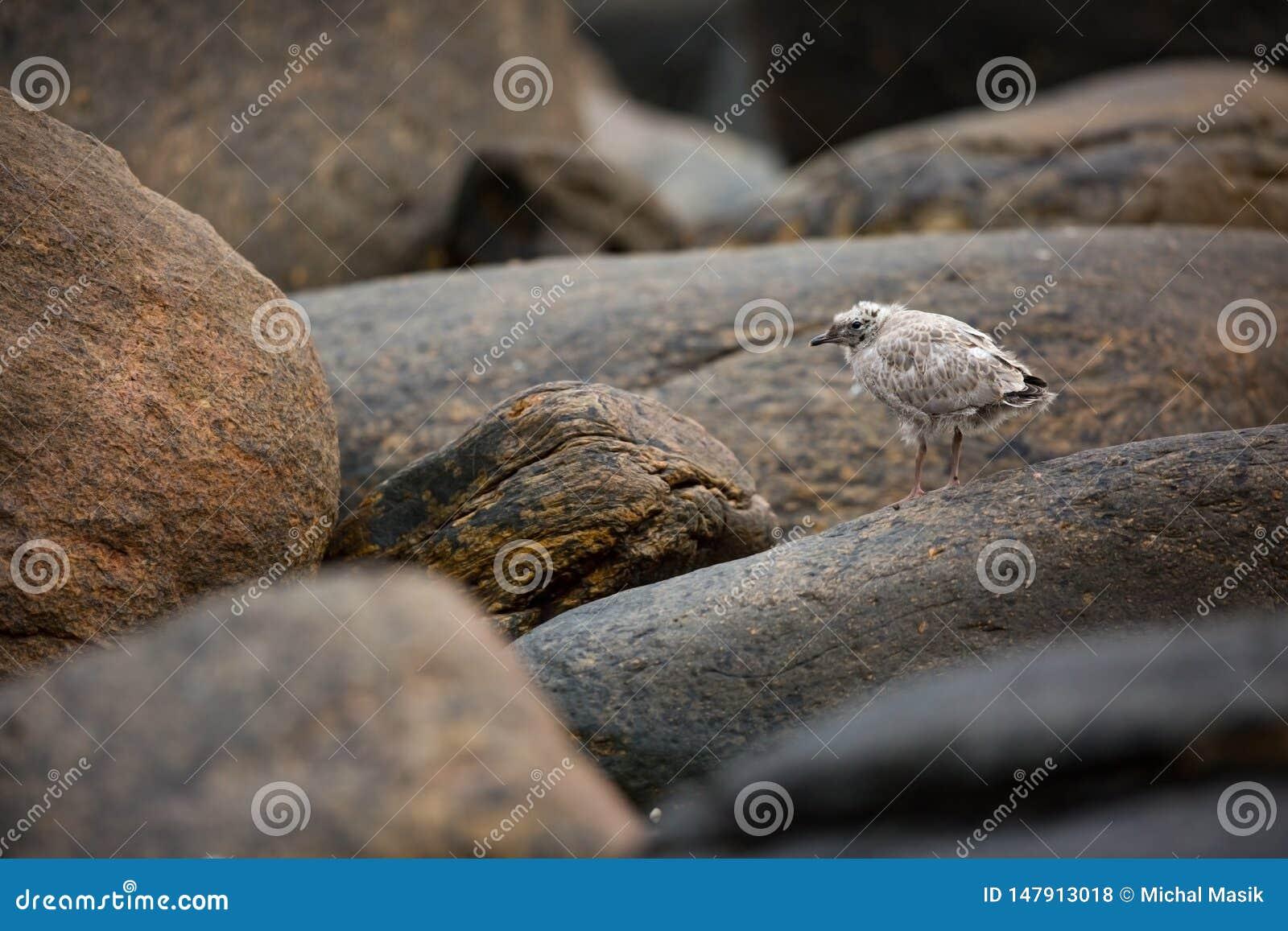Laruscanus Norge djurliv h?rlig bild Fr?n livet av f?glar fri natur Runde ? i Norge Skandinavisk wildl