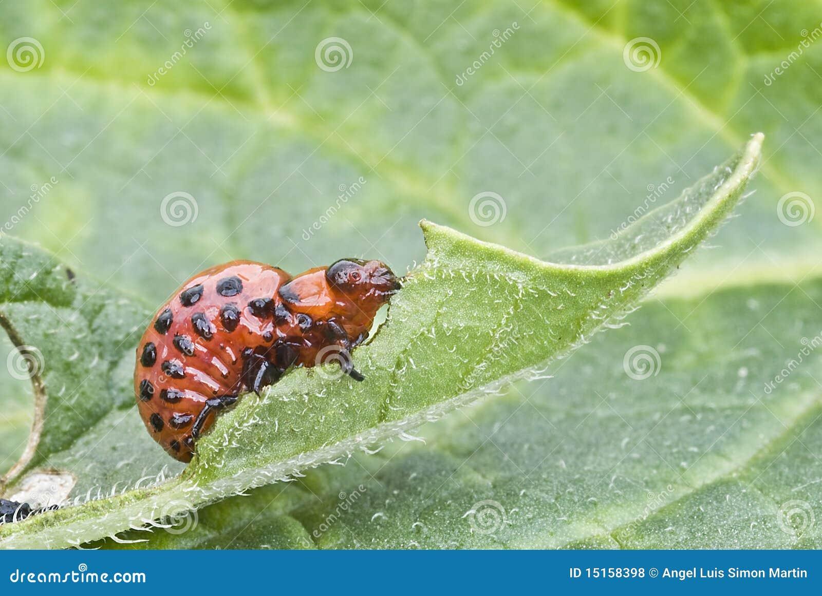 Larva Of Colorado Potato Beetle. Royalty Free Stock Photos ...