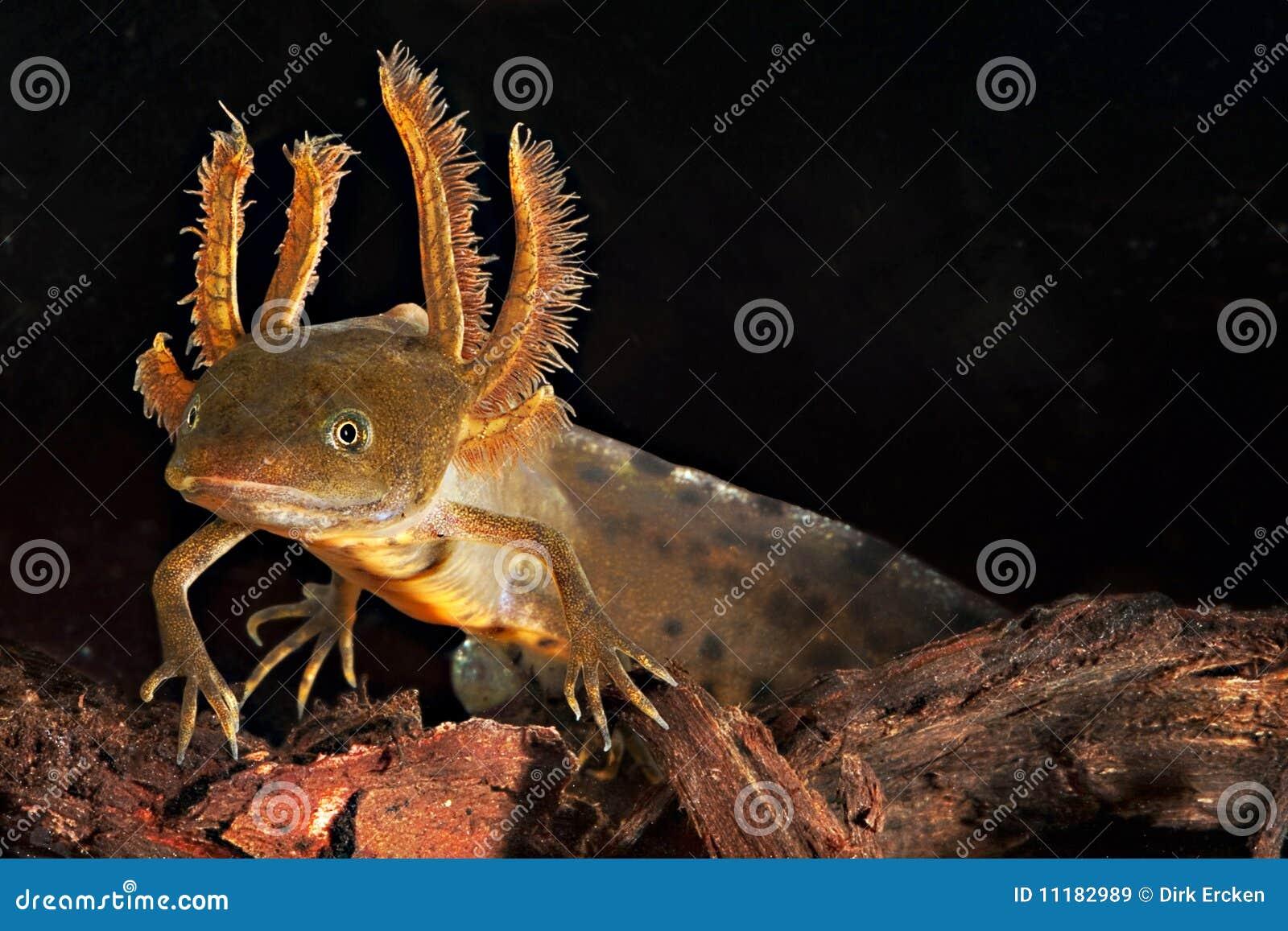 Larva con cresta del newt