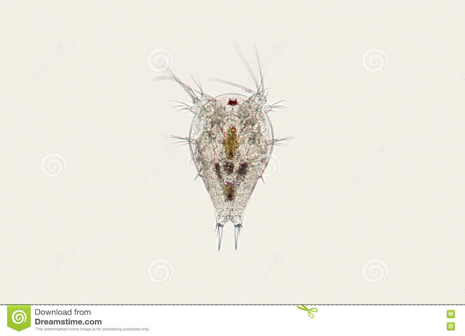 Larva de agua dulce de Nauplius del copepod del zooplancton Crustáceo microscópico