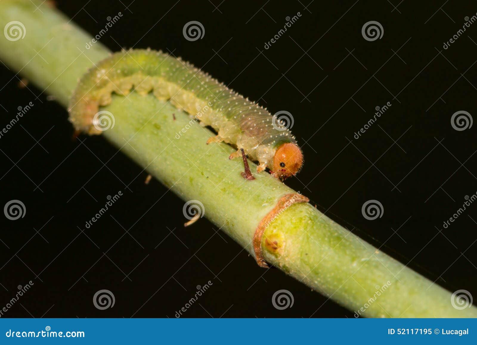 Larva de um vespão