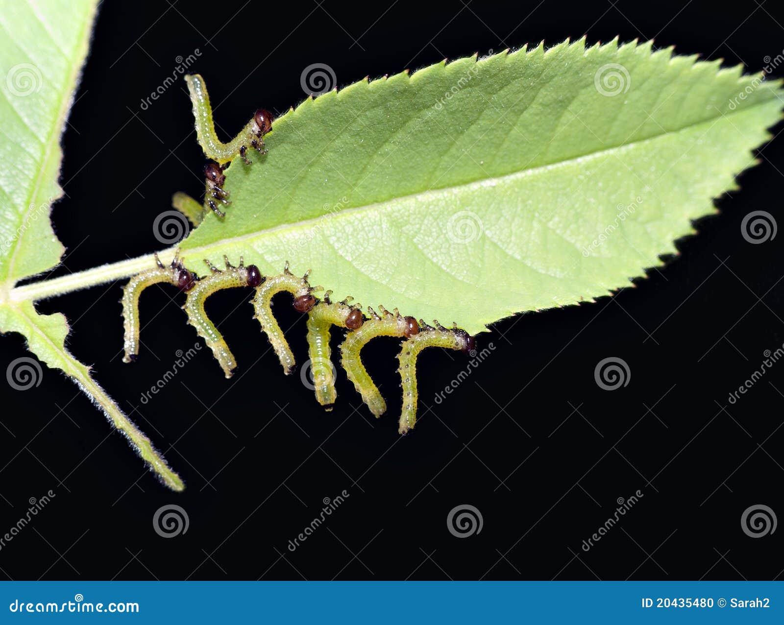 Larva Do Vespão De Rosa  Praga Do Jardim Foto de Stock  Imagem