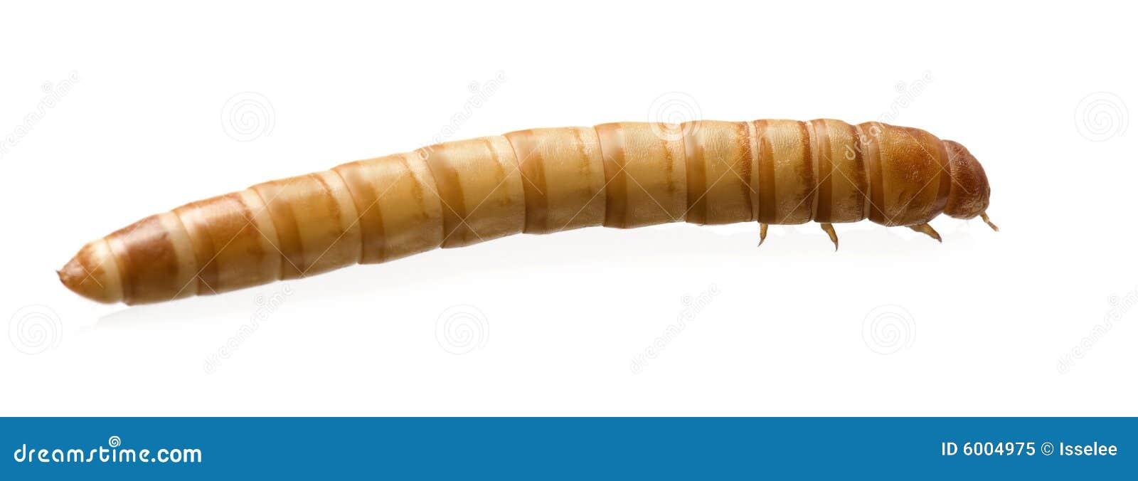Larva Of Mealworm Tenebrio Molitor Royalty Free Stock