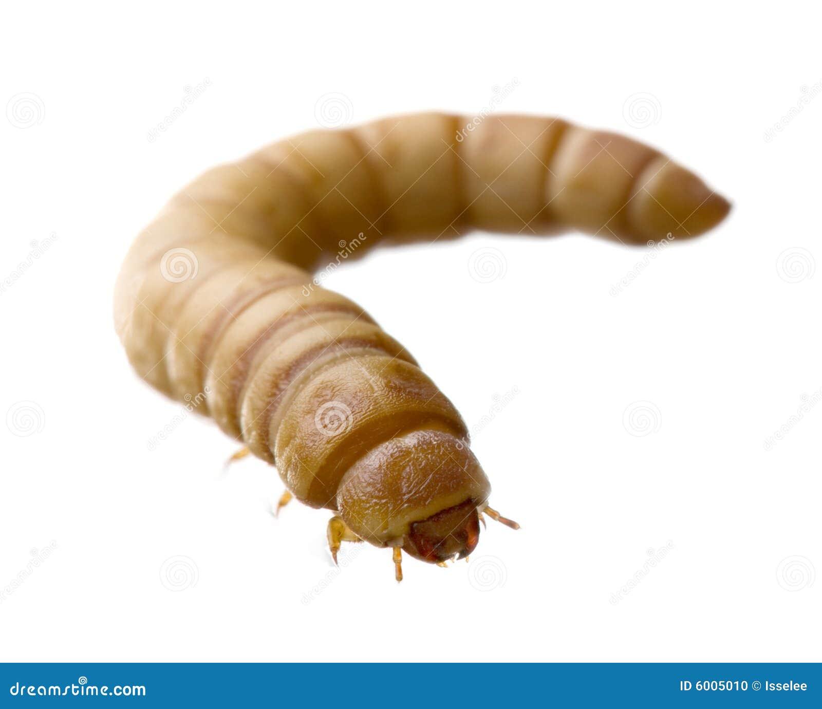 Larva Of Mealworm Tenebrio Molitor Stock Photo Image