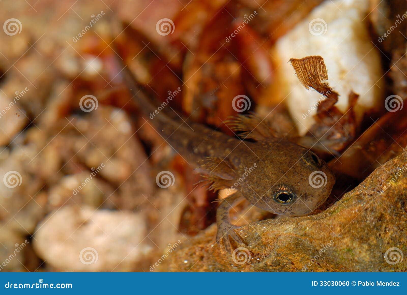 Larva Of Salamandra Salamandra In Montseny Barcelona