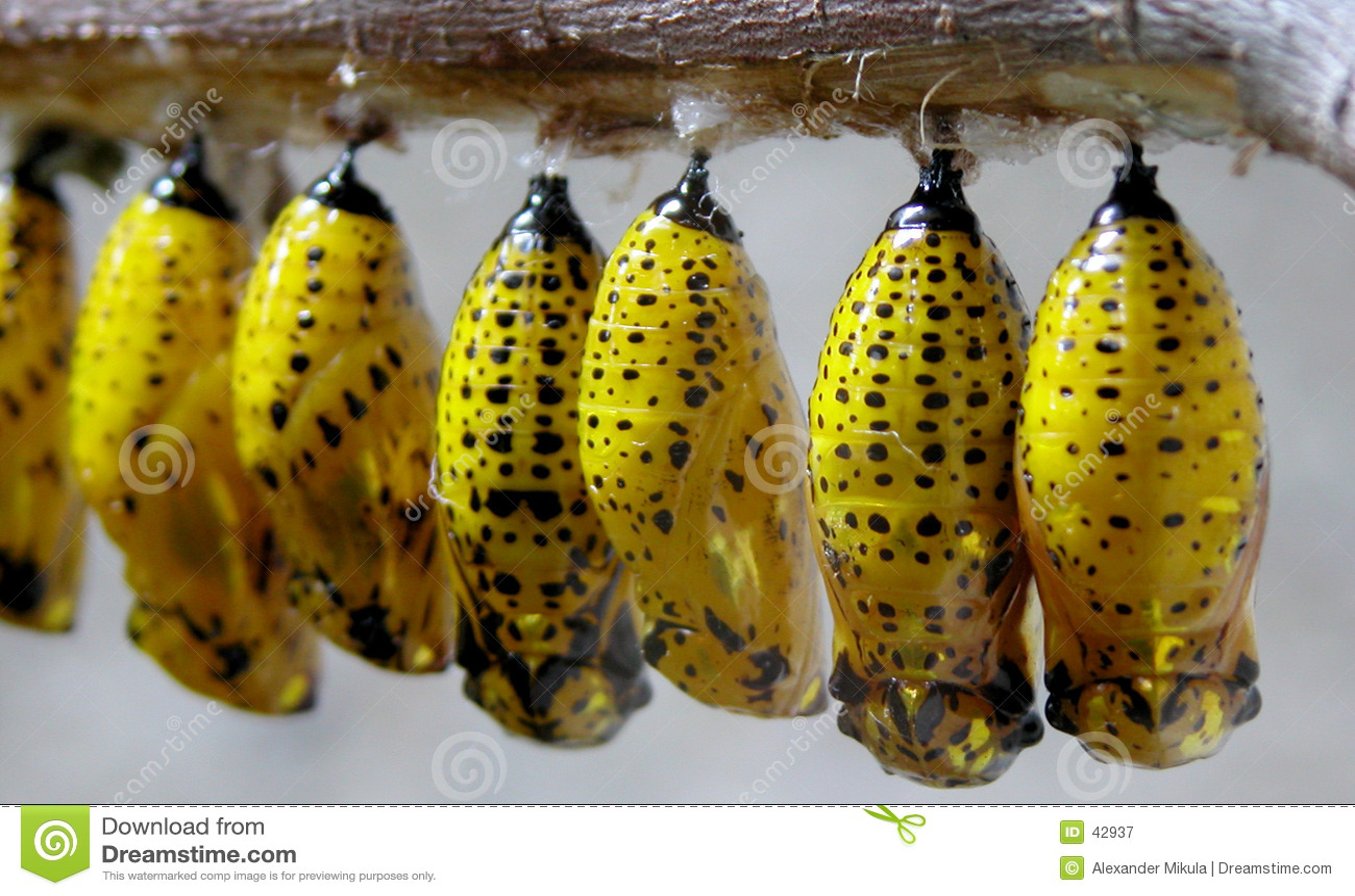 Larvas amarillas