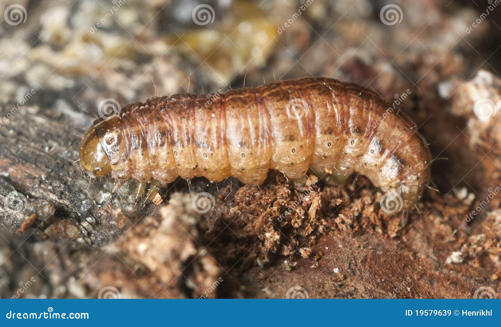 Larvas de la polilla en la madera im genes de archivo for Polilla madera imagenes