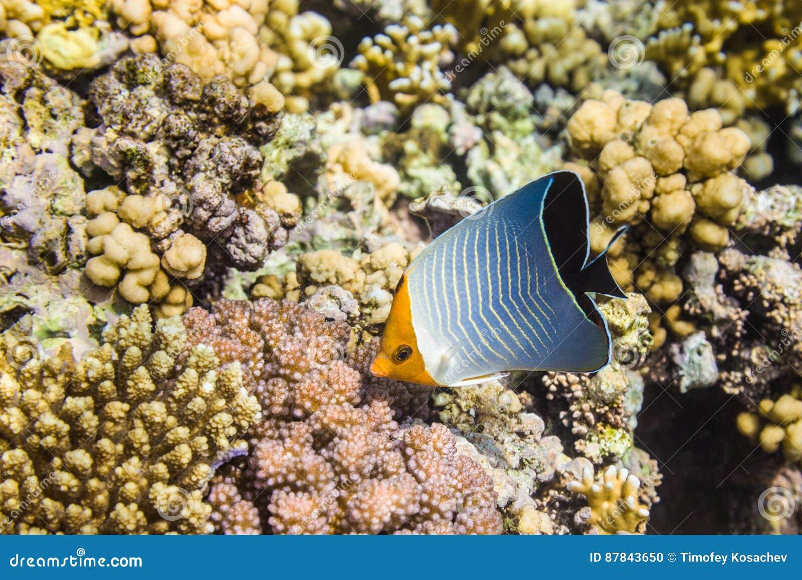 Larvatus del orangeface o incappucciato di pesce angelo di Chaetodon