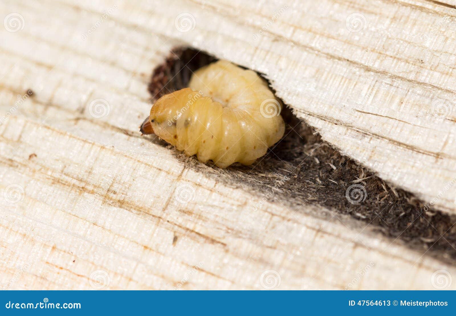 larve dans le tunnel en bois de pin image stock image du larves col opt res 47564613. Black Bedroom Furniture Sets. Home Design Ideas