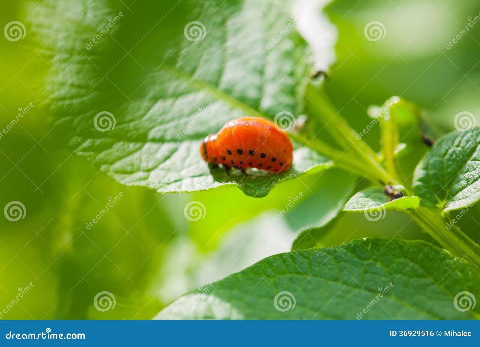 Larve de doryphore sur la feuille de la pomme de terre image libre de droits image 36929516 - Feuille pomme de terre ...