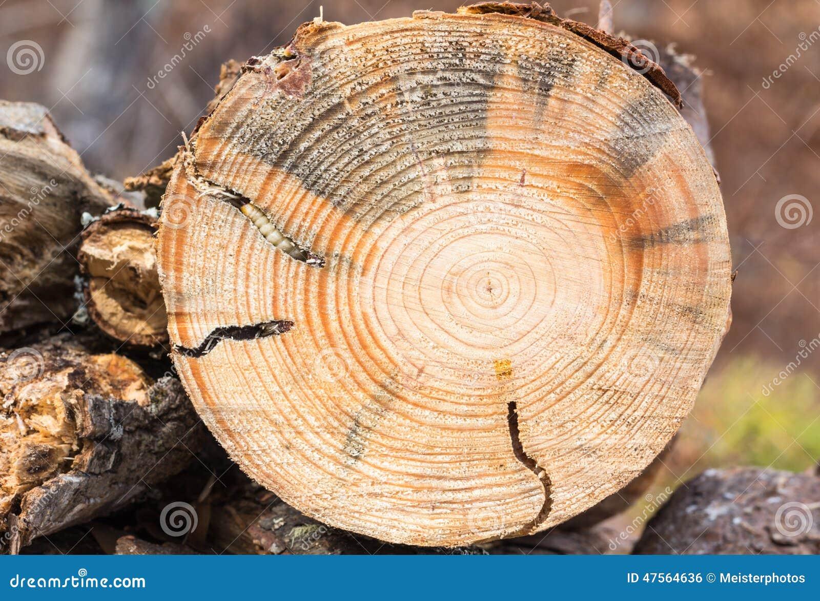 Larve dirigée ronde de foreur en bois de pin